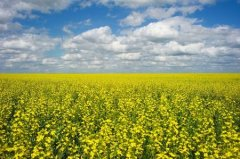 COFCO plans to buy 2.5 million tonnes of Canada's canola crop next year