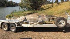 5.2-meter crocodile killed in northeastern Australia, largest in years