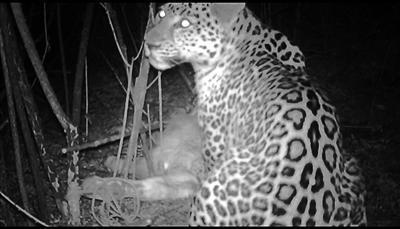 华北豹进食画面很清晰,吃的是一头农户散养的小牛犊 供图/中国猫科动物保护联盟