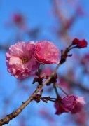 新疆伊犁丝路花都浪漫樱