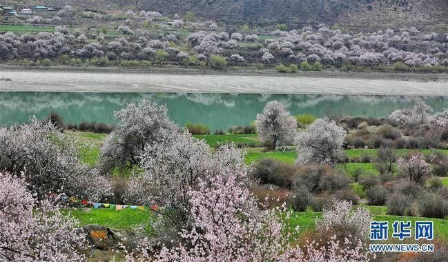 天气转暖,西藏各地鲜花盛开、万物复苏,春意渐浓。 新华社发(益西旦增 摄)
