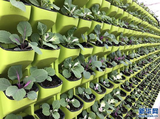 智能温室里长势喜人的蔬菜。新华网 雪珍摄