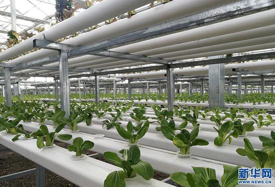 智能温室正在培育的蔬菜。新华网记者 张宸摄