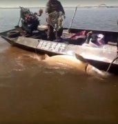 渔民捕获1028斤大鳇