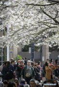 Annual Vancouver Cherry Blossom Festival marked in Canada