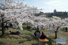 立陶宛首都维尔纽斯樱花