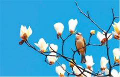 报告文学:白玉兰的春天