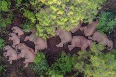 云南将帮助北迁亚洲象逐渐返回适宜栖